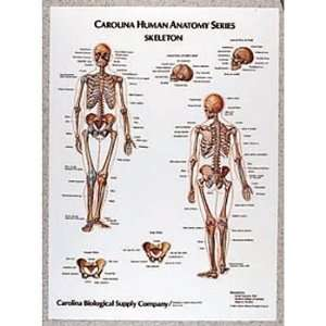Muscles, Giant Carolina Human Anatomy Chart:  Industrial