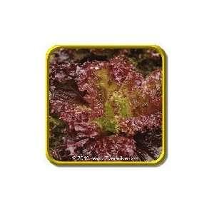 1 Oz   Leaf Lettuce Seeds   Lolla Rosso Darky Bulk