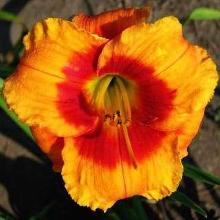 BOLD TIGER DAYLILY  DF   LIVE PLANTS   PERENNIALS