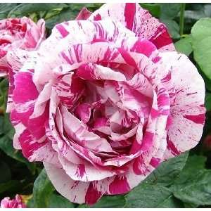 Ferdinand Pichard Rose Seeds Packet Patio, Lawn & Garden