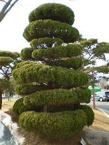 CHINESE JUNIPER Juniperus chinensis   10+EXTRA seeds. BONSAI